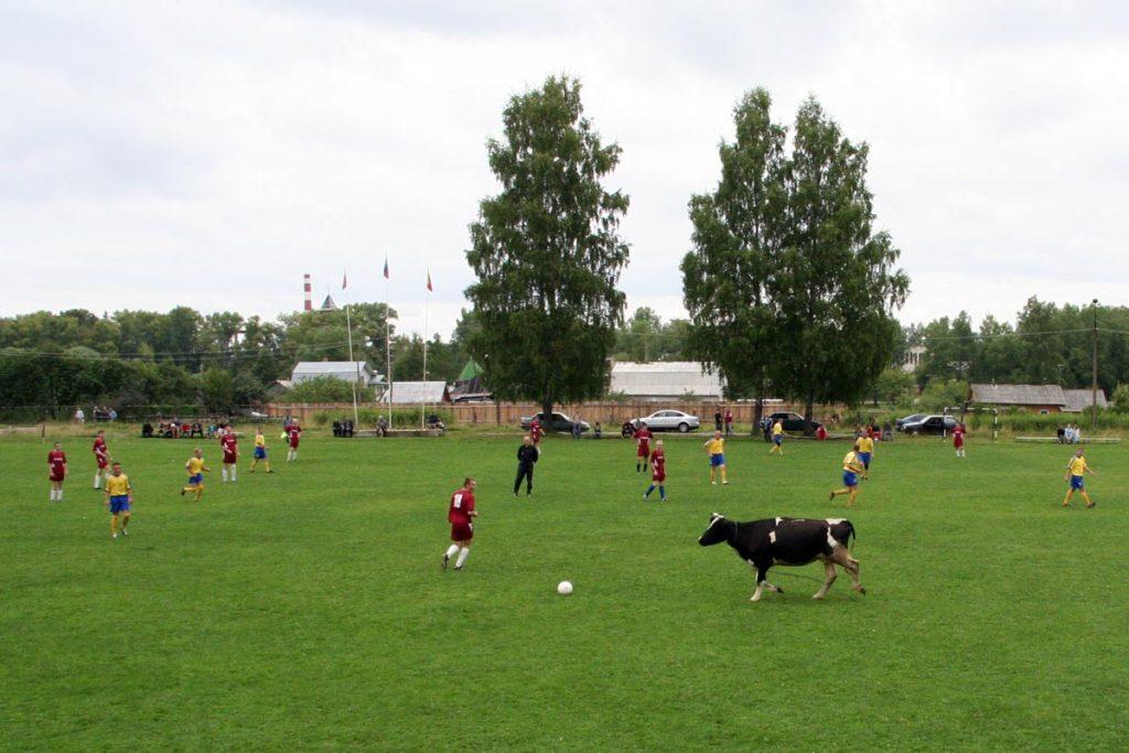 Корова на стадионе.